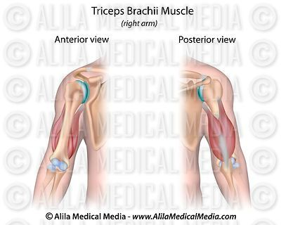 Triceps brachii muscle, unlabeled.