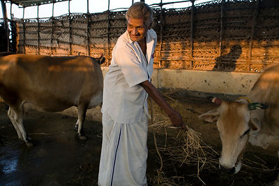 India - Cuddalore - Natrajan tending the cows