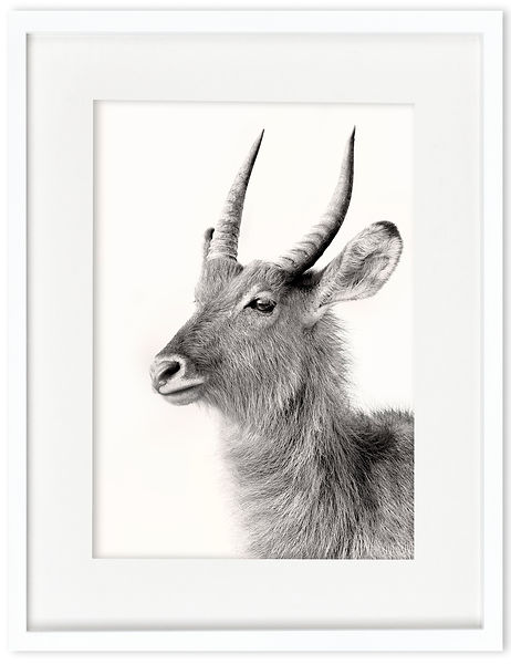 Waterbuck | Africa on White