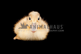 Yellow baby duck isolated on black background