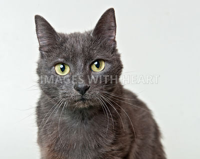 Gray cat looking at camera
