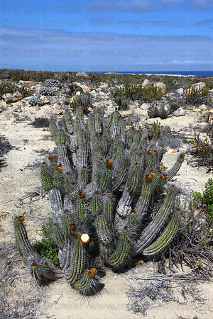 Sheepstail cactus ( Eulychnia breviflora ), Llanos de Challe National Park , Region III , Chile