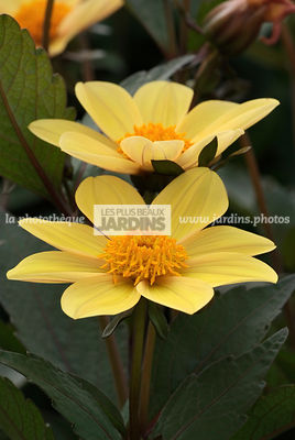 Dahlia 'Happy Party'. BallDucrettet
