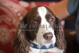 Springer-Spaniel-Sweet-Face-in-Living-Room