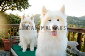 two fluffy white samoyeds sitting on lush back deck