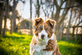 Brown Border Collie on Farm