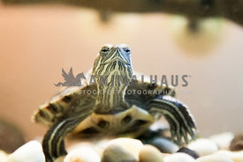 painted turtle close up in tank