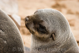 Young Cape Fur seal , Arctocephalus pusillus pusillus, Cape Cross Seal Colony, Skeleton Coast, Namibia; Landscape