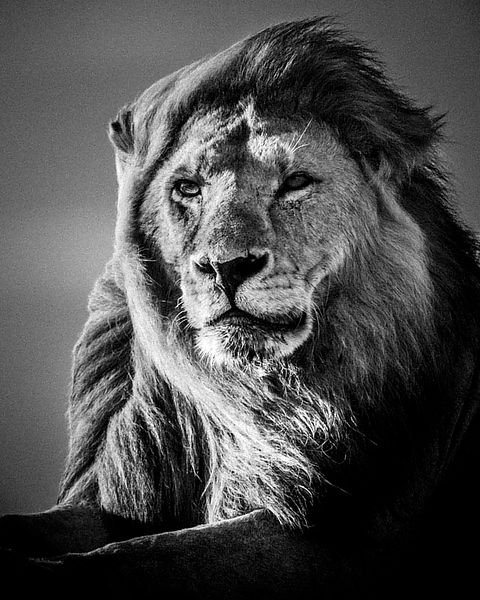 Lion in the wind 5, Tanzania 2007 © Laurent Baheux