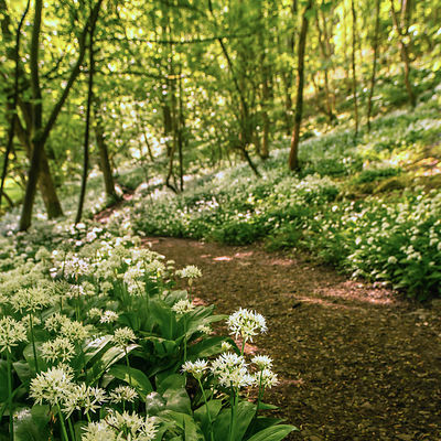 Wild garlic wood Peak District