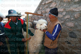 Measuring the height of an alpaca that has been selected to take part in competition, Curahuara de Carangas, Bolivia