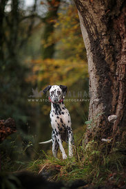 Dalmatian stood by tree