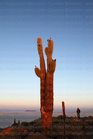 Tourist and forked Echinopsis atacamensis (pasacana subspecies) cactus on summit of Incahuasi Island at sunrise, Salar de Uyu...