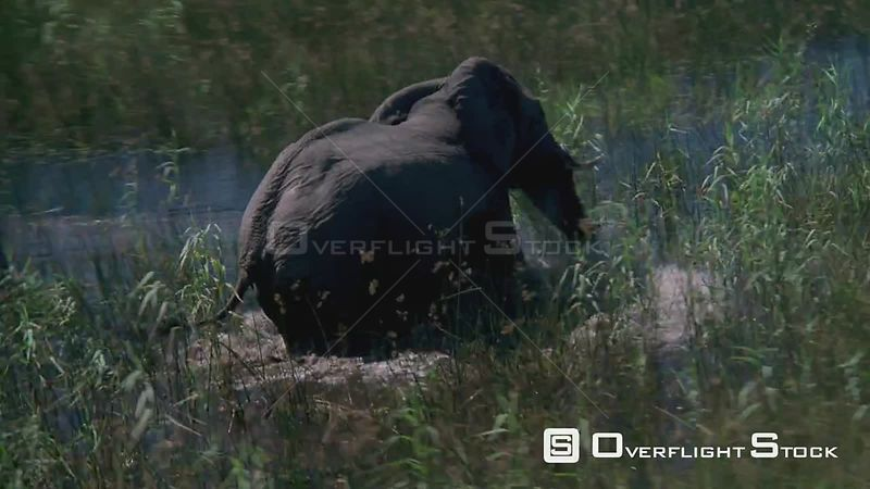 Aerial wide angle shot, circle around elephant walking through tall grass and water, zoom in to close up Zimbabwe