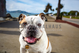 smiling bulldog sitting on path with palm trees and bay in background