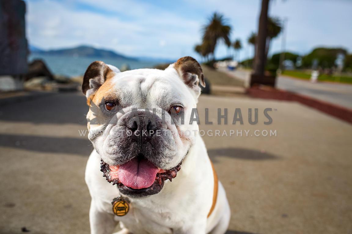 Animalhaus Media Smiling Bulldog Sitting On Path With Palm Trees