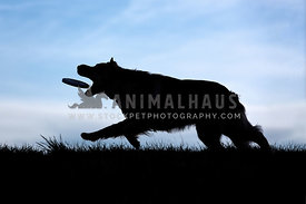 Silhouette of dog catching a toy