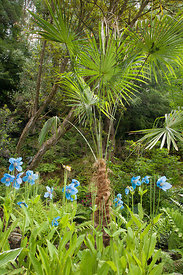Meconopsis and Trachycarpus fortunei