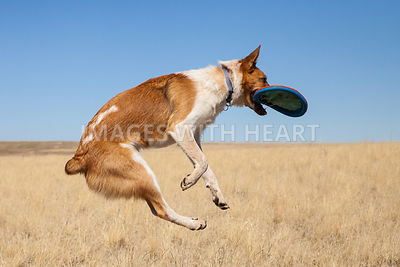 Profile of Dog Catching Frisbee In Air Outdoors