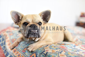 French Bulldog with underbite on bed