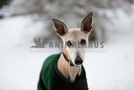 whippet dog in the snow with coat amd collar on