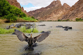 An African darter (Anhinga rufa, Slanghalsvoel)  spreading its wings on a semi-submerged rock in a river, desert mountains on...