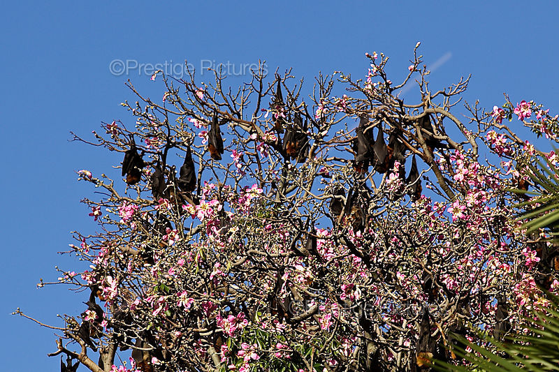 Fruit Bats Roosting in a Tree in The Royal Botanic Gardens,  Sydney