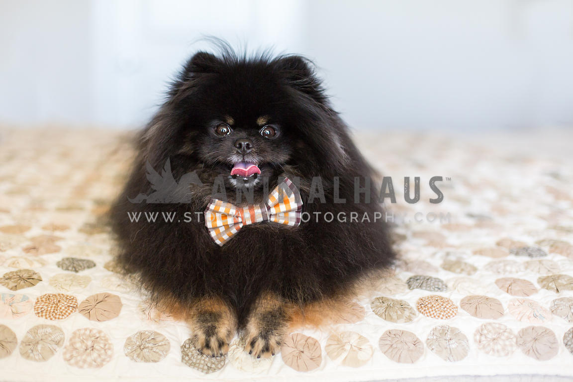 Fluffy black Pomeranian dog smile while laying down on a bed at home