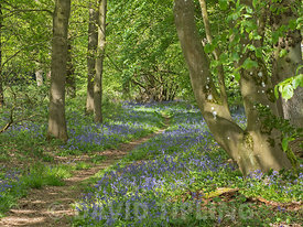 woodland path at Thursford Norfolk Willife Trust Reserve near Fakenham, Norfolk, UK bordered by a beautiful display of Bluebe...