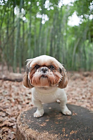 shih tzu in sweater on stump in bamboo forest