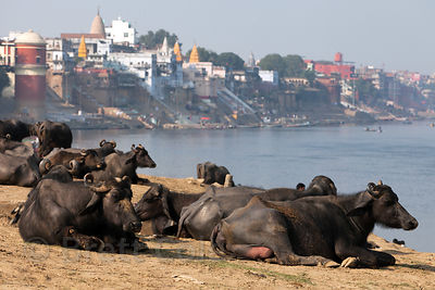 Water Buffalo on the banks of the Ganges River near Assi Ghat, Varanasi, India.