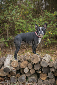 boston terrier frenchie mix on a pile of wood