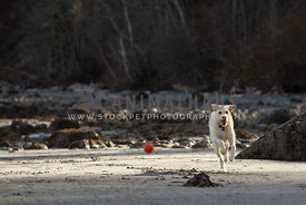 Yellow lab running after a ball on the beach
