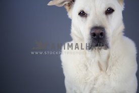 large serious white dog looking into camera