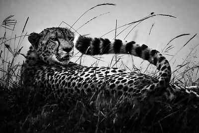 03884-Cheetah-The_supple_tail_Laurent_Baheux