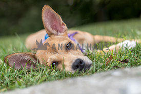 Small dog laying in the grass by a curb wearing a purple bandana