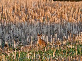 Brown Hare Elus europaeus in stubble field Norfolk autumn