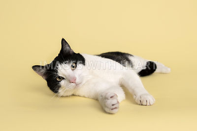 Cat lying on yellow paper looking at camera