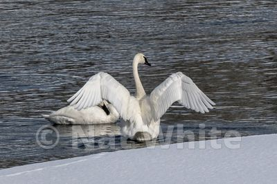 Trumpter_swan-_Hayden_Valley-0948_January_20_2018_Nat_White