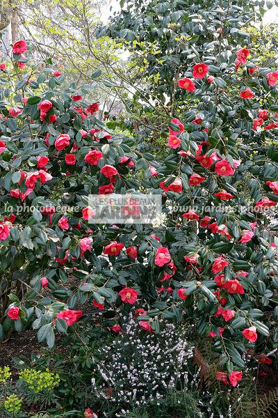 La Phototheque Les Plus Beaux Jardins Camellia Japonica Adolphe