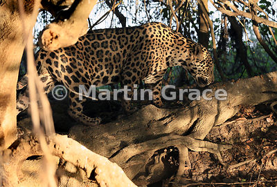 Male Jaguar (Panthera onca) known as Marley emerges into dappled sunlight from behind a riverbank tree, River Cuiabá, Norther...