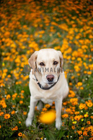 labrador in field of orange flowers, looking up at camera