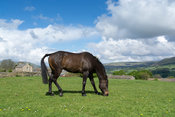 Throughbred racehorse grazing in a paddock, North Yorkshire, UK.