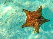 Starfish In Sea With Copy Space