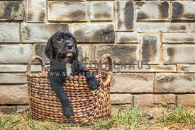 puppy leaning out of basket
