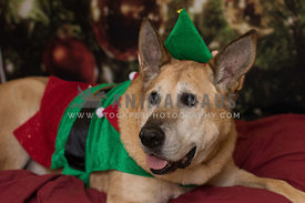 Largd dog laying down on maroon sheet, dressed in elf costume, smiling, ears up