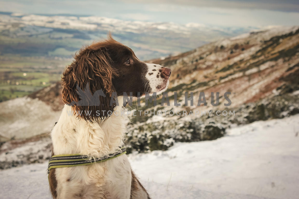 springer spaniel looking left in snow covered hills