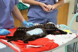 female cat being prepped for spay surgery at TNR clinic