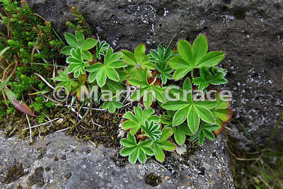 Alpine Lady's Mantle (Alchemilla alpina) growing on lava in central Reykjavik, Iceland
