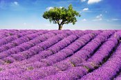 Lavender field and tree in summer, Provence, France.